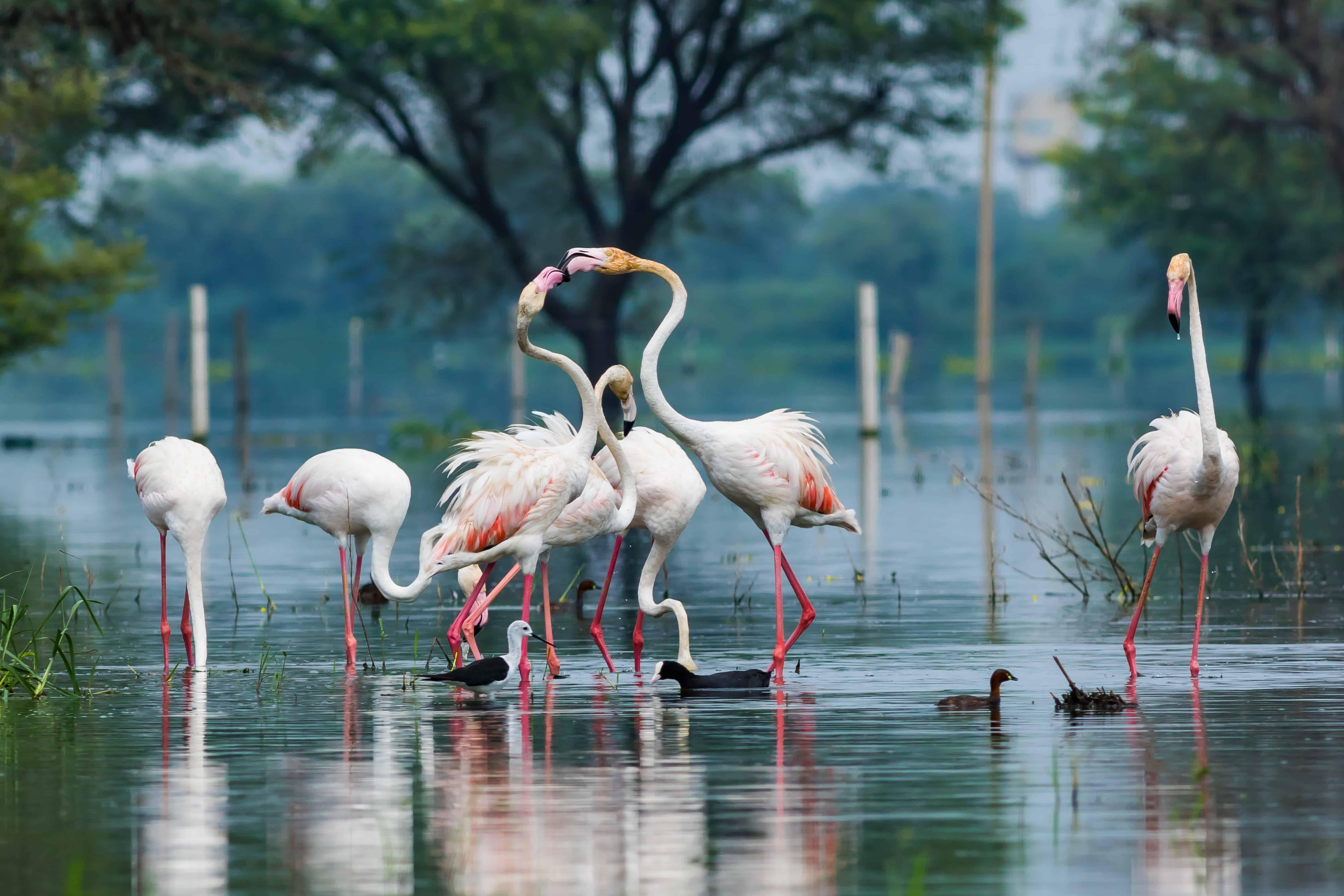 Flamingos in Indien