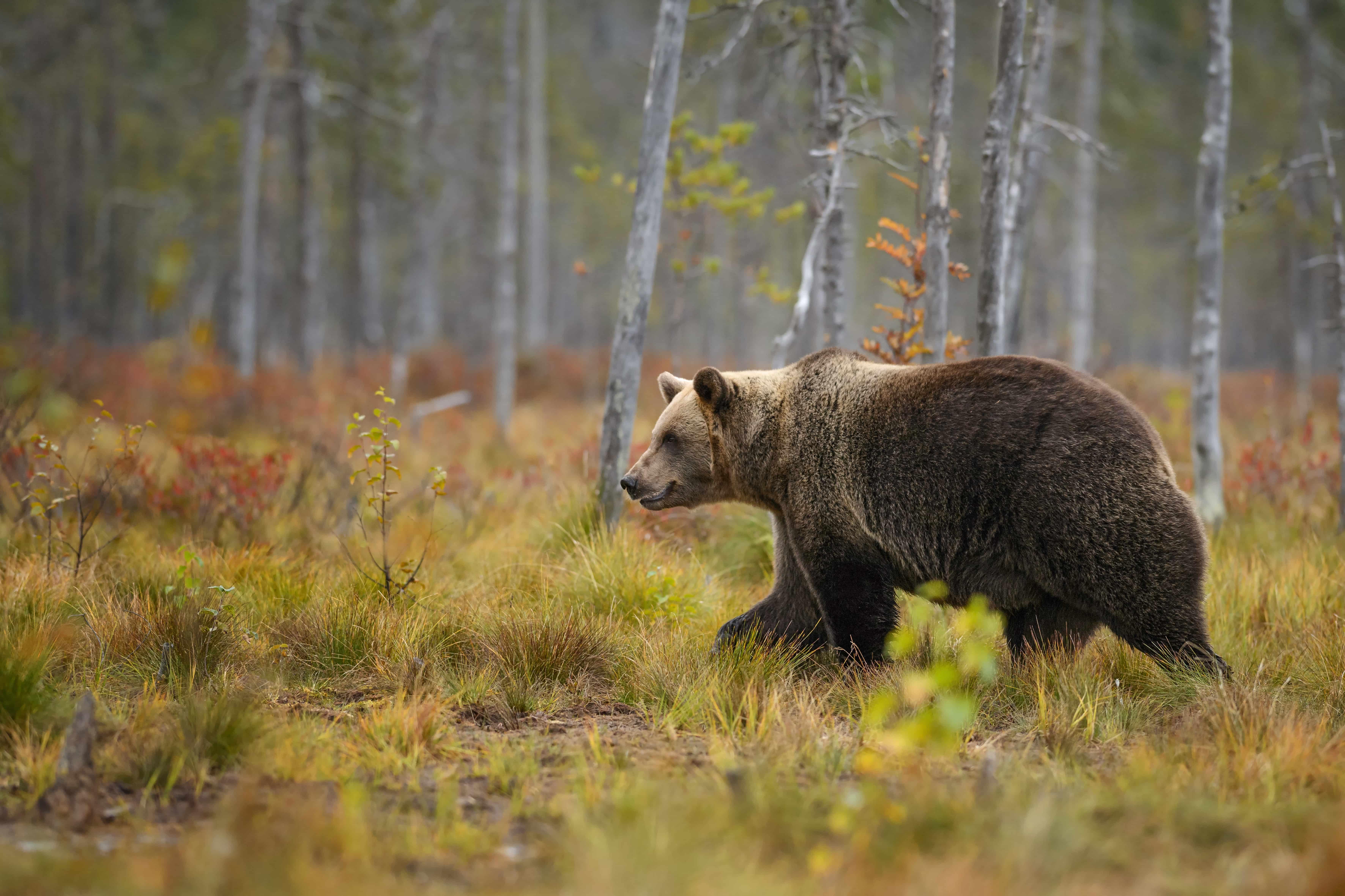 Braunbär in Estland