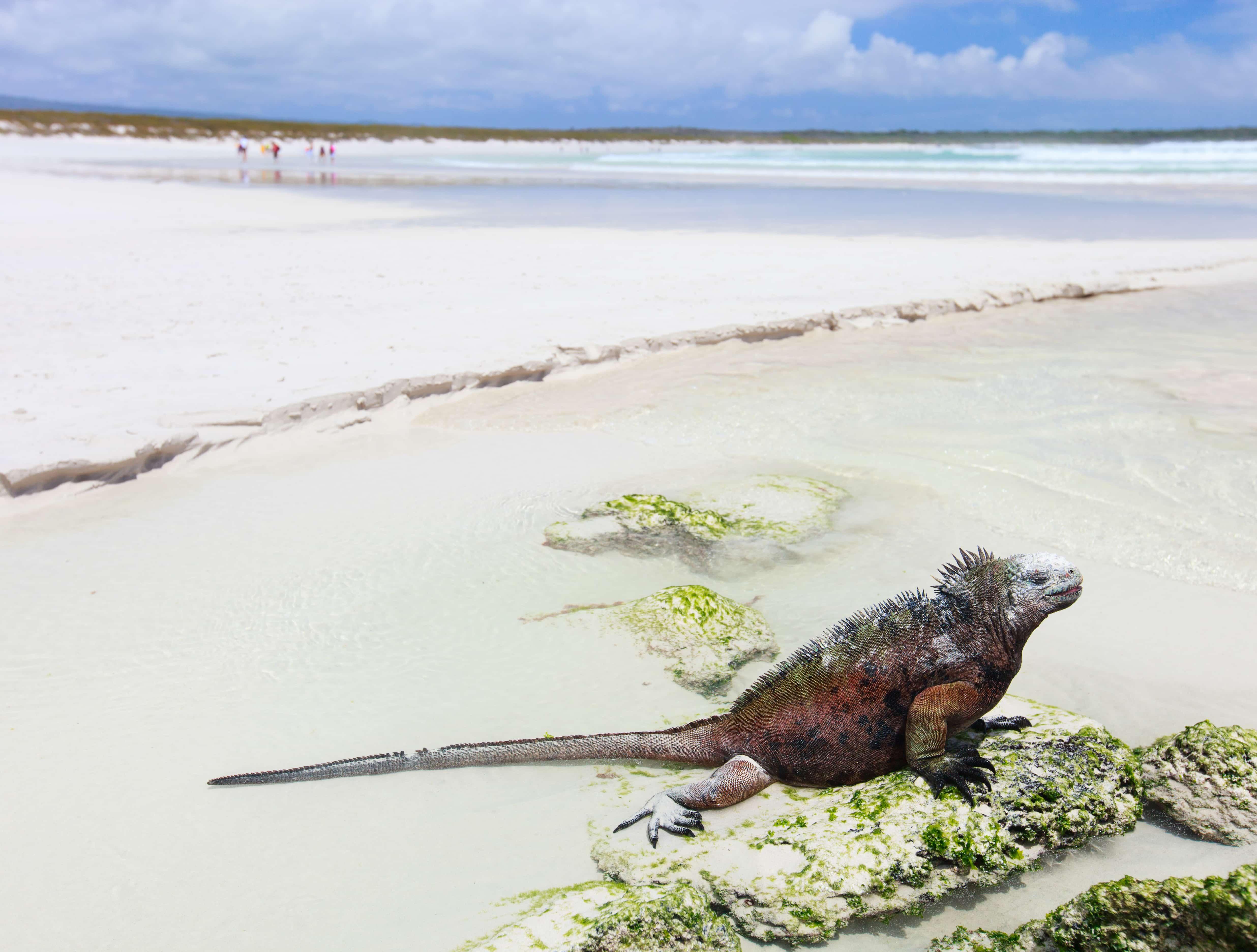Echse am Tortuga Beach